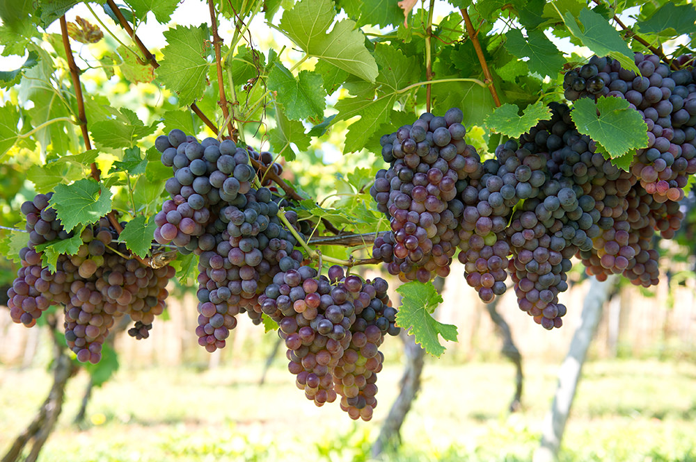 Image of Grapes